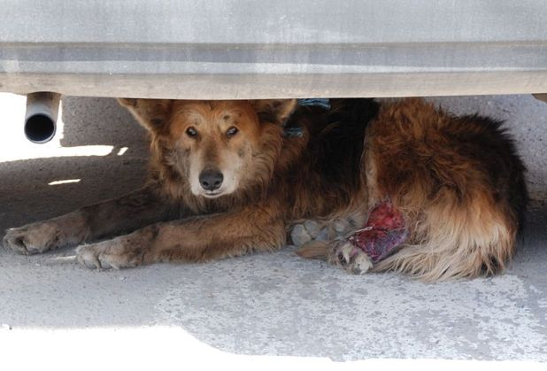 Injured_stray_dog-Andrey-CC-BY